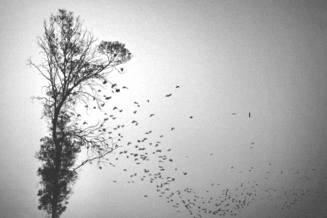 Falling crows