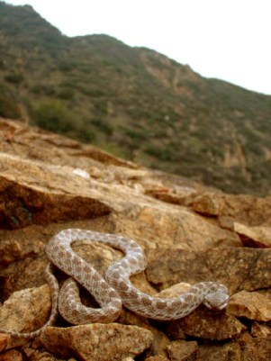 Desert Nightsnake by Kolby