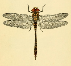 Dragonfly - British libellulinae, or, Dragon flies (detail).JPG