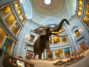 Elephant in Rotunda of Smithsonian Natural History Museum