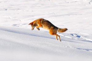 Coyote Pounce by Justin