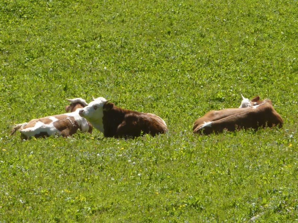 two brown-and-white cows