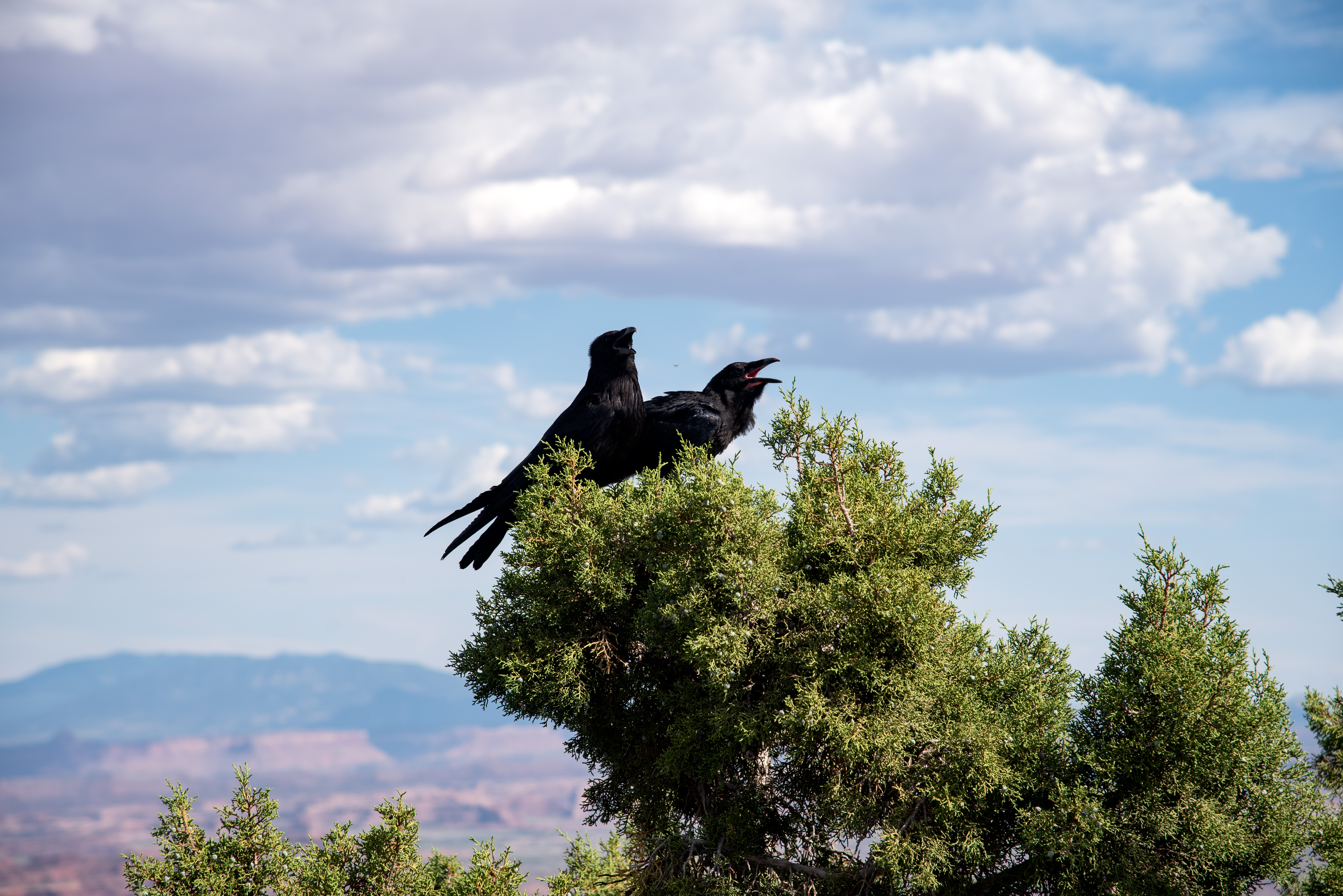 two-crows-on-the-pine-trees